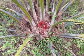 Palma Fertilizada con Nuestro Producto (30 Meses de Edad)